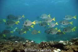 Surgeon Fish (Prionurus Punctatus) schooling in the reefs... by Thierry Lannoy 